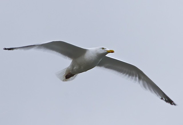 Seagul in Flight