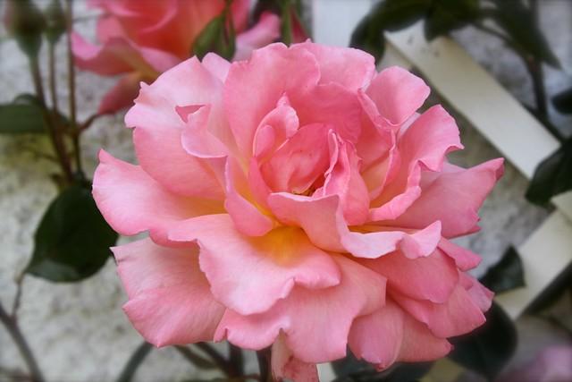 Rosa's rosa