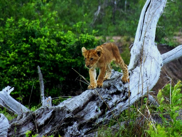 A Lion cab playing on a dry tree log as seen during game drives in Mikumi National Park