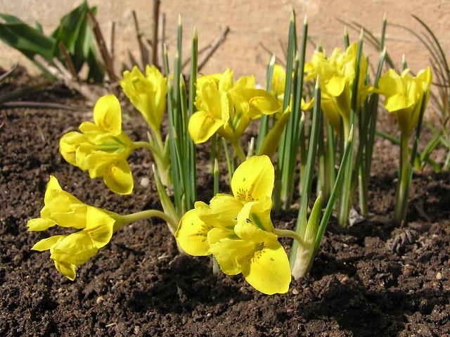 Iris danforiae