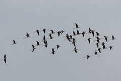 animal migration(1.0), animal(1.0), wing(1.0), fauna(1.0), flock(1.0), bird migration(1.0), crane-like bird(1.0), bird(1.0),