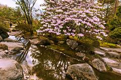 Japanese Garden Rhododendron