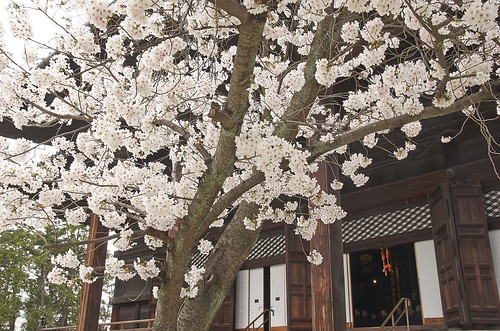 【写真】2014 桜 : 知恩寺/2020-11-13/IMGP5725