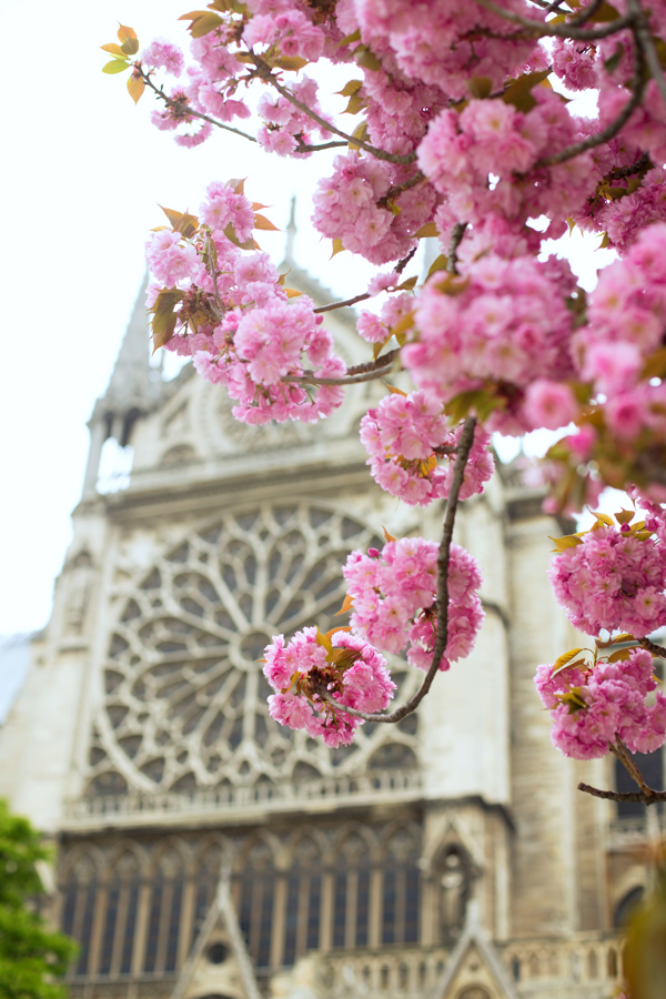 Cherry Blossoms at Notre Dame.jpg