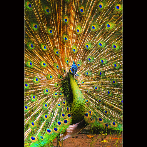 Peacock dance by -clicking-