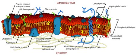 Build up of bacterial cell wall