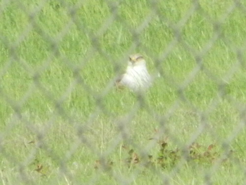 Ferruginous Hawk at CVG