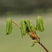 Small photo of Horse chestnut (Aesculus hippocastanum) leaves