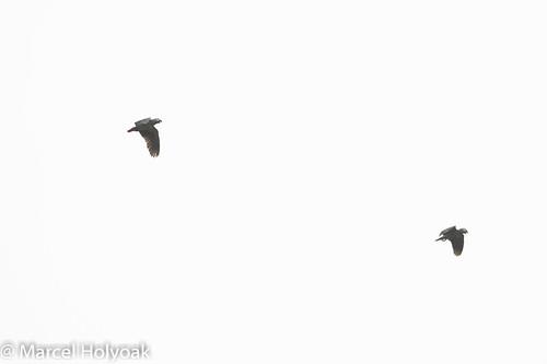 birds parrots cameroon littoral grayparrot psittacuserithacus sanagariver