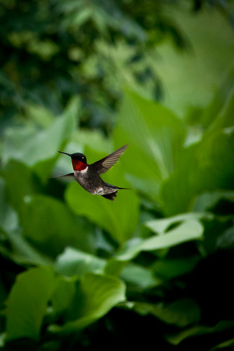 Ruby Throated Hummingbird by KarrieChantel