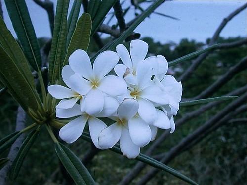Plumeria alba along Caribbean Coast