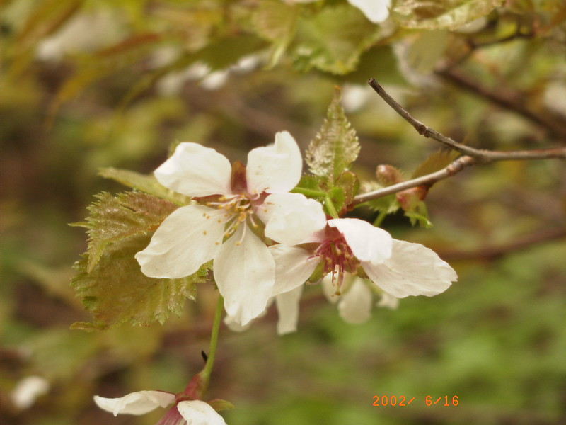053黑岳花
