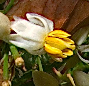 A tiny, opened Nandina blossom, very close up