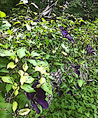 Clematis on the Fence (Digital Woodcut) by randubnick