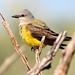 Western Kingbird by NaturalLight