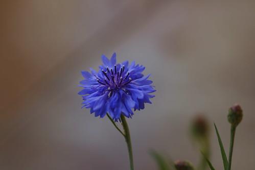 Centaurea azul