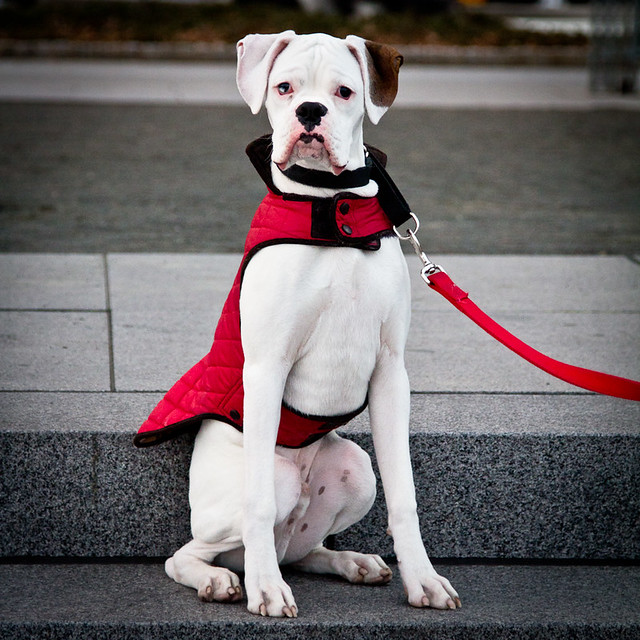 New York dog with red coat, par Franck Vervial