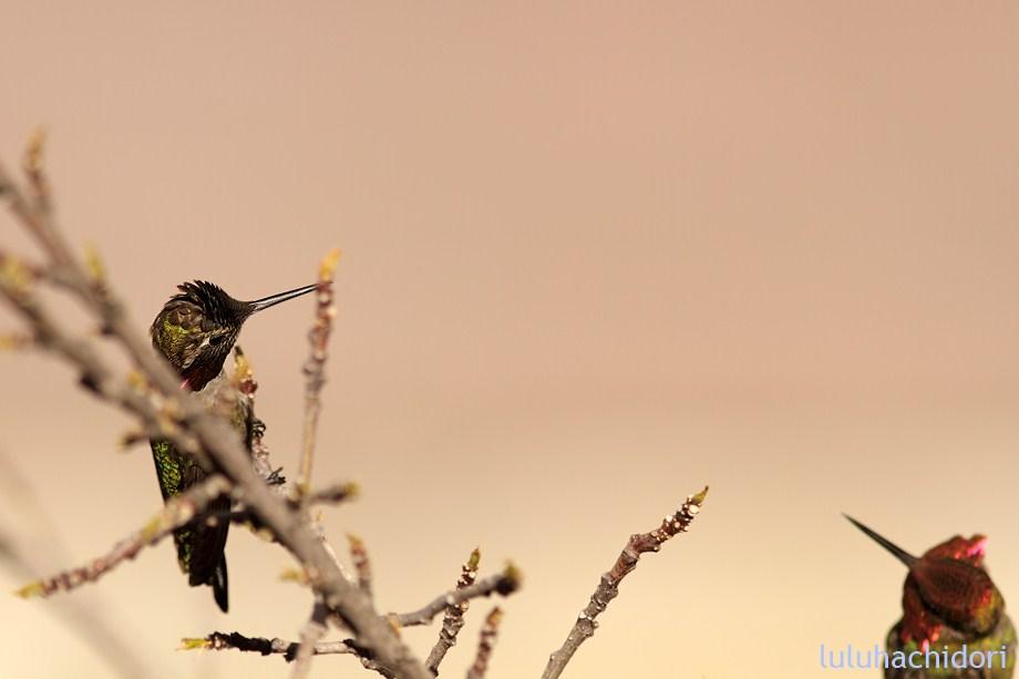 Anna's Hummingbird 051712-1