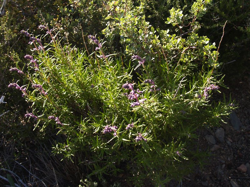 Purple flowers on the PCT