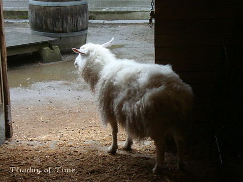 Portland Zoo goat looking at rain-ww