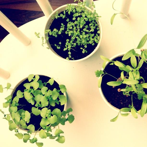 #ikea #herbs are growing!!! #iambest #hemuli #puutarhuri #helläkasvattaja #ikkunalautapuutarha vaikka ei oo ikkunalautaakaan