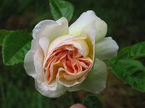 "Paul Barden Hybrid Gallica Rose ""Marianne."" by Leenechan"