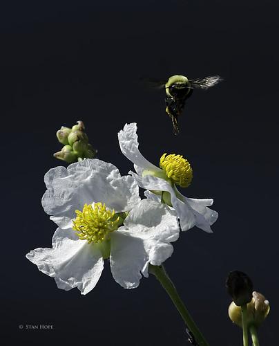Lake Istopkoga - Bumble Bee