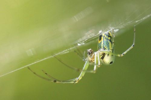 virginia spiders wildlife macros arthropods orchardorbweaver spidersandinsects