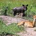 Small photo of Warthogs and Ugandan Kob
