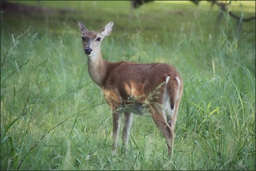 ~a moment.........whitetail doe~