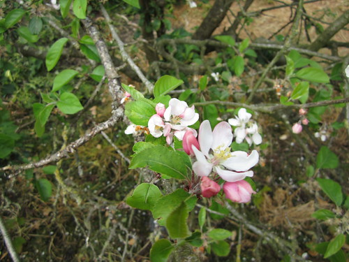 Apple Blossoms #8