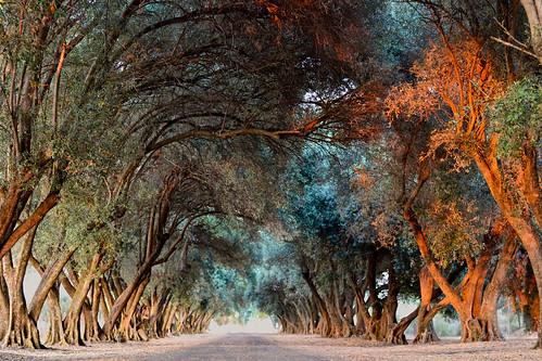 landscape olivegrove