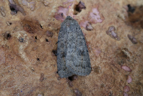 Mottled Rustic (Caradrina morpheus)