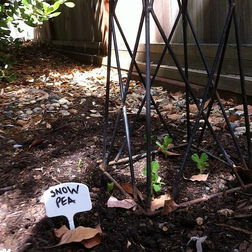 Growing things. Snow peas being born. #garden #organic #veggies