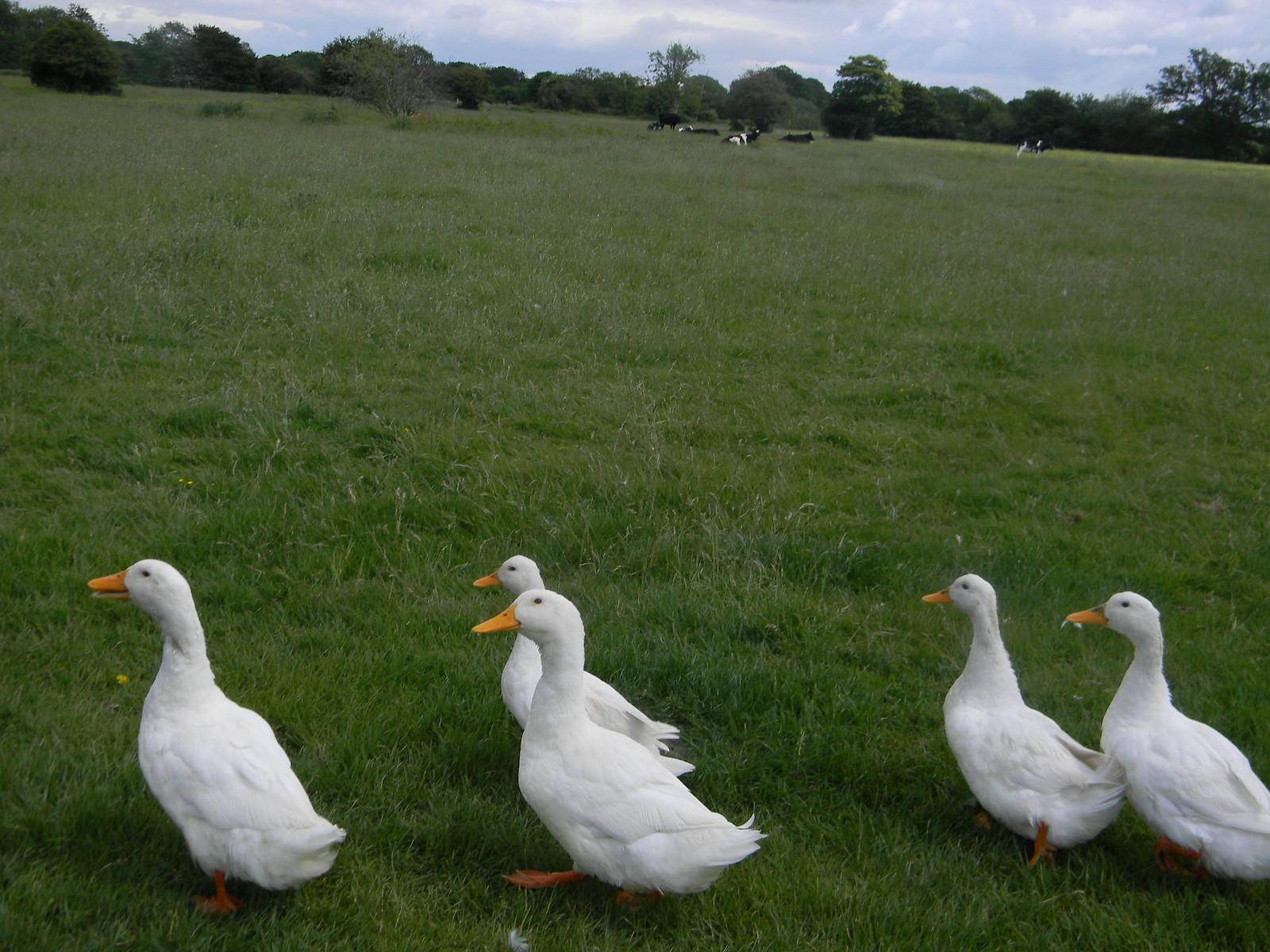 Pekin ducks Uckfield to Lewes