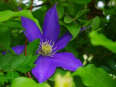 Shy Clematis