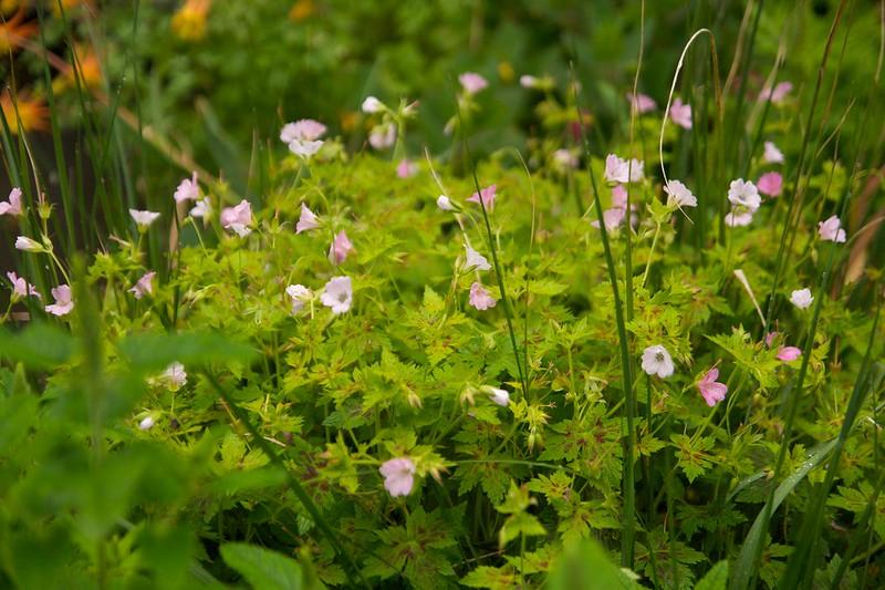 geranium kanterine adele  1734