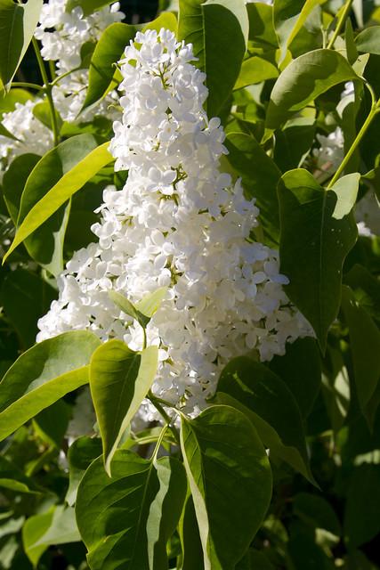 """Harilik sirel """"Madame Lemoine"""" / Syringa vulgaris / Lilac 'Madame Lemoine'"""
