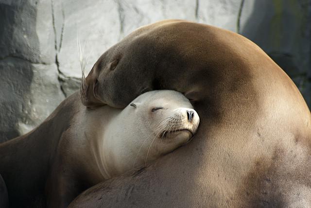 Sealion cuddle
