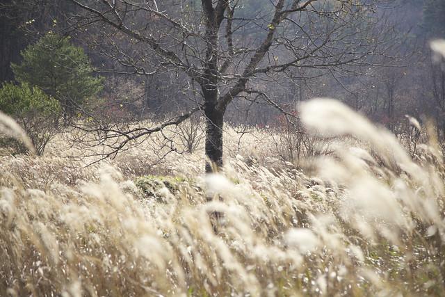 ススキの揺れる千町原.毎年行われる保全活動により,その美しい景観を保っている.