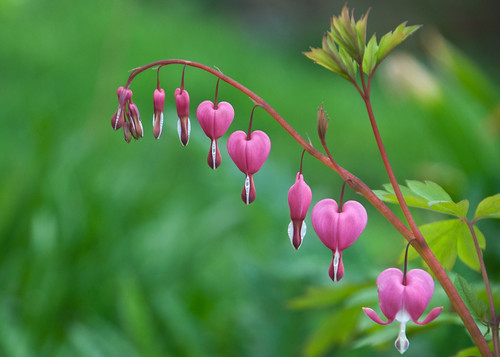 04-06-14 Bleeding Heart