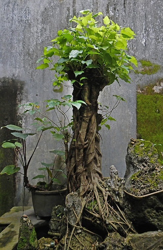 Bonsai Banyan or Strangler Fig (Ficus) in Hoi An