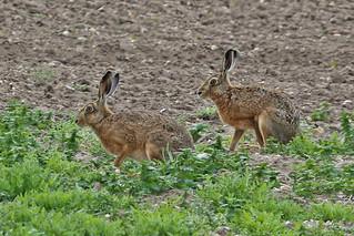 Hares pair Westerfield 28.4.2014 (1)