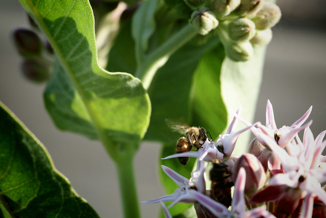 2016 6 25 - Bee and Milkweed - CB - DMTI - 9S3A0102