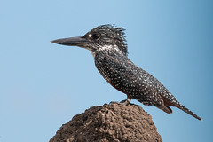 King of the Hill, Giant Kingfisher - Megaceryle maxima