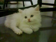 birman(0.0), domestic long-haired cat(1.0), animal(1.0), persian(1.0), kitten(1.0), napoleon cat(1.0), british semi-longhair(1.0), small to medium-sized cats(1.0), pet(1.0), turkish angora(1.0), ragdoll(1.0), cat(1.0), carnivoran(1.0), whiskers(1.0), himalayan(1.0), domestic short-haired cat(1.0),
