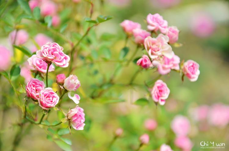 玫瑰園。迷你薰衣草04.jpg