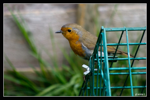 Robin on his cage
