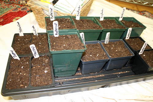 squash seeds in pots 021