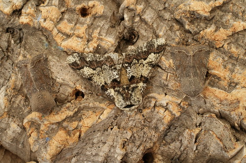 Oak Beauty (Biston strataria) and 2 Clouded Drab (Orthosia incerta)